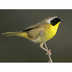 Male. Note: black mask and bright yellow throat.