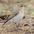Non-breeding plumage