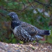 Male. Note: dark neck and dark tail.