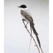 Adult. Note: dark head, white breast, and long forked black tail.