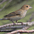 Female. Note: pale throat and lightly streaked breast.