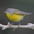Male. Note: blue-gray head, yellow throat, and white eye ring.