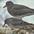 Winter plumage. In front of Surfbird.