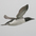 Breeding plumage. Note: short bill with white gape line.