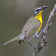 Note: white spectacles, dark lores, and bright yellow breast.